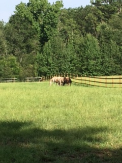 The boys enjoying an afternoon of grazing.
